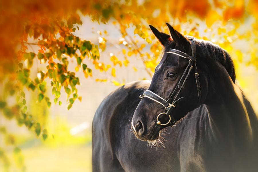 Pferd_shutterstock_224471599