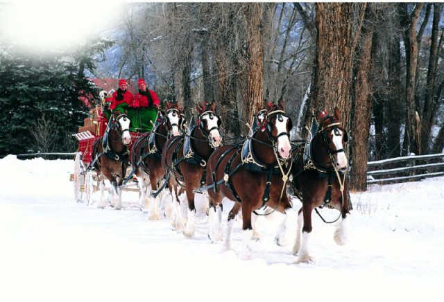 beloved budweiser clydesdales to perform at the cp