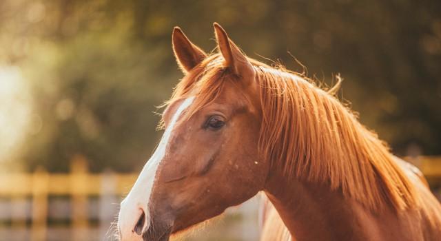 Wer die Sichtweise des Pferdes kennt, hat es beim Reiten und im Umgang mit dem Tier leichter. © shutterstock / dezi