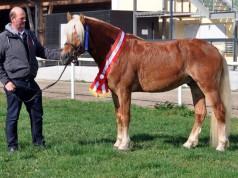 Erich Wenzel präsentiert Alaba, den Sieger der Hengstleistungsprüfung Haflinger 2016. © Pferdezentrum Stadlpaura Facebook