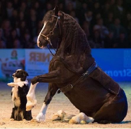 Willy Schauberger und seine Tiere sind eines der Highlights in der Conares Showtime der Mevisto Amadeus Horse Indoors 2016. © Willy Schauberger