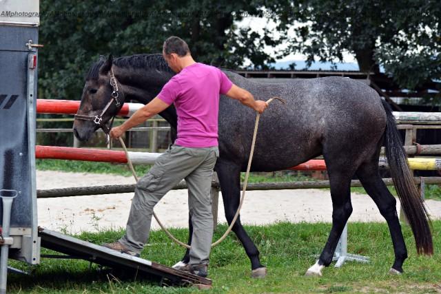 Ist man 365 Tage im Jahr keine konsequente Vertrauens- und Respektsperson für sein Pferd, wird das auch beim Verladen zu Problemen führen. © Shutterstock   Marie Charouzova