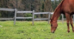 Beim Anweiden von Pferden gibt es einige Dinge zu beachten. © shutterstock / Tarica