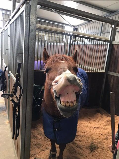 Klaus Lechners Tinseltownsmokingun scheint es lustig zu finden: Novice Horse Open Reserve Champion beim Osterturnier in Kreuth. © Lechner Performance Horses