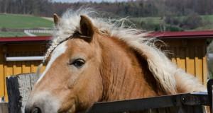 Die Viren, die die Bornasche Krankheit, eine Hirnentzündung, beim Pferd auslösen, werden von infizierten Feldspitzmäusen übertragen.© Michael Bernkopf/Vetmeduni Vienna