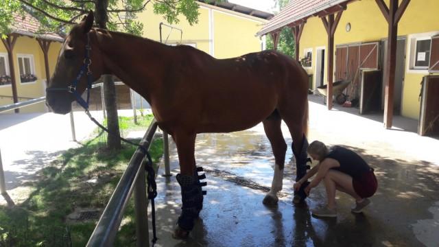 Drei Pferde (Darwin, Roy, Dustin) fahren mit der VG Club 43 nach Ebreichsdorf. © privat