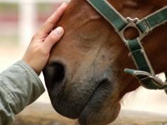 Drei Experten bestätigten, dass die verbotene Substanz über die Hände des Besitzers in den Organismus des Pferdes gelangt sein könnte. © Artpose Adam Borkowski / Shutterstock