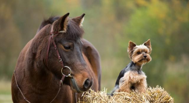 Ganz egal wem der Heu-, Stroh oder Grashaufen auch gehört - Ponys haben IMMER Vorrang! © Shutterstock | Vera Zinkova