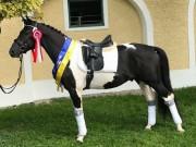 Cash TZ gewann das Championat der Pintoreitpferde in Stadl Paura. © Tamara Eder