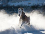 Der Warmblüter galoppierte, angeheizt von seinem Weggefährten, rasant durch den Schnee © Alessandra Sarti