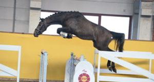 39 Hengste sind im Springlot bei den Hengsttagen des Deutschen Sportpferdes. © Pferd visuell