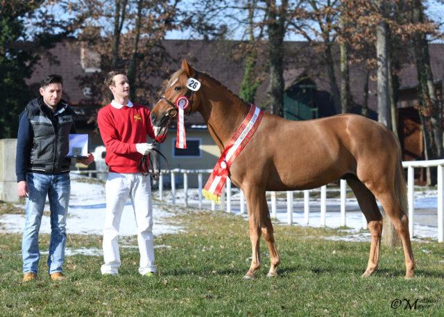 Körsieger Pony: Little Higgins BBA aus der Zucht von Bianca Babanitz. © Matthias Mayer