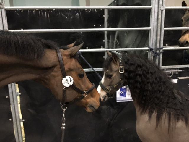 PSG Future kann hübschen Ponys einfach nicht wiederstehen. © Max Kühner Sporthorses