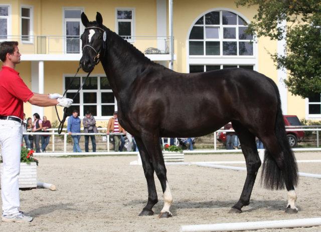 Germany n. Fürst Grandios, geb. 2006. © Großholzner Pferdezucht