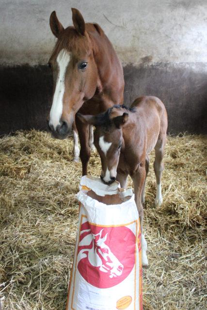Zuchtstuten erbringen eine enorme Leistung, die richtige Fütterung ist das Um und Auf. © Großholzner Pferdezucht