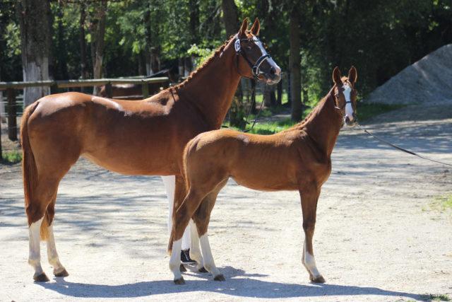 Jambalaya mit Fohlen Joplin (n. Aganix du Seigneur, geb. 2017), die den 3. Platz beim OÖ Fohlenchampionat der springbetonten Pferde erreichte. © Großholzner Pferdezucht