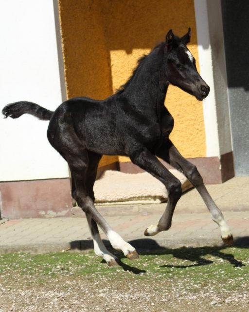 Gorosita: schwarz, viermal weiß gefesselt, sehr große Aufrichtung, ausdrucksvoller Kopf, sehr korrekt mit einer großzügigen Bergauf-Galoppade. © Großholzner Pferdezucht