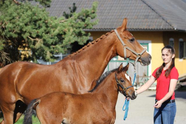 Jesprit zeigte sich sehr selbstsicher und punktete mit sportlichem Aussehen. © Großholzner Pferdezucht