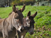 Die Gebirgsjäger des Österreichischen Bundesheeres setzen in Zukunft zu Transportzwecken auf mutige Esel. © pexels.com/hermaion