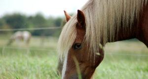Studien belegen, dass zwischen 20 und 50 % aller Pferde und Ponys in Nordamerika und Europa an Übergewicht leiden. © Adobe Stock