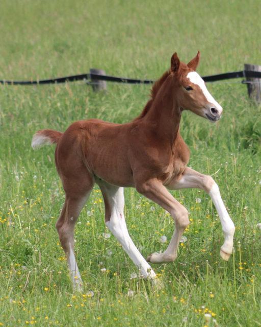 Janis tobt schon auf der Weide herum! © Großholzner Pferdezucht