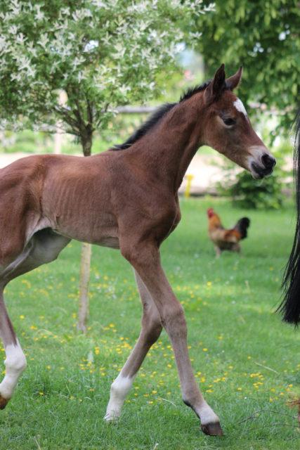 Familie Großholzner ist froh, dass in diesem Jahr alle Fohlen gesund zur Welt kamen. © Großholzner Pferdezucht
