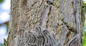 Eichenprozessionsspinnerraupen können auch für Pferde sehr gefährlich sein. © Adobe Stock