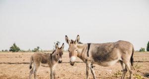 100 Millionen Pferde, Esel und Maultiere arbeiten immer noch unter härtesten Bedingungen. © Olympia, The London International Horse Show