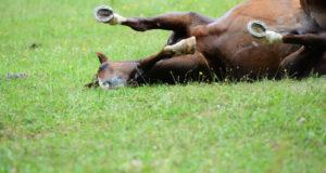 Mit dem Gratistool von Equine Guelph kann man das Kolikrisiko seines Pferdes einschätzen. © Adobe Stock