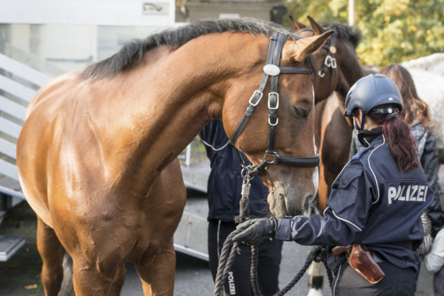Dem Innenministerium wurden bisher insgesamt 36 Pferde von Züchtern aus Deutschland, Ungarn und Österreich angeboten. © Adobe Stock/ Andreas Gruhl