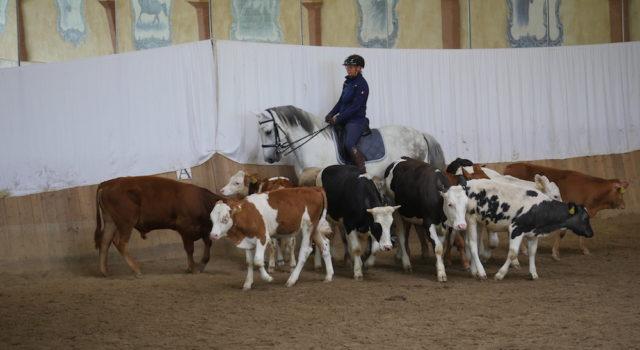 Weltmeisterin Mirjam Wittmann bei der Arbeit mit der Rinderherde. © Ulrich Rosinger, ESR Luftbild