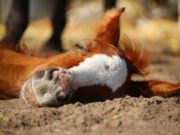 Schlaf dient nur den tierischen Sportpartnern als wichtige Regenerationsphase ©pixabay