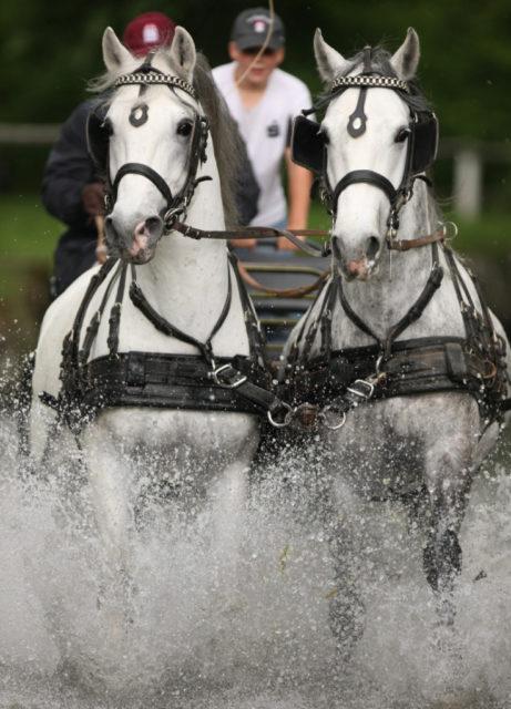 Lippizaner in Action! © Boiselle
