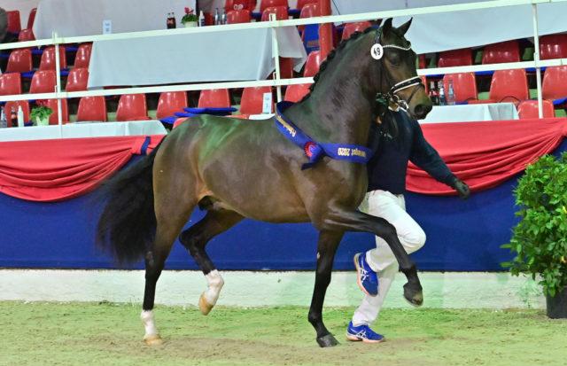Der OL-Reservesieger ist ein Nachkomme des For Dance-Zack. © Feldhaus/www.oldenburger-pferde.com