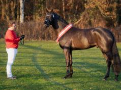Der westfälische Kör-Sieger 2020 von Fair Game - Destano wurde um 800.000€ an Helgstrand Dressage verkauft. © Reckimedia