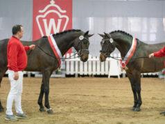 Die westfälische Hauptkörung brachte gleich zwei springbetonte Siegerhengste hervor! © Reckimedia